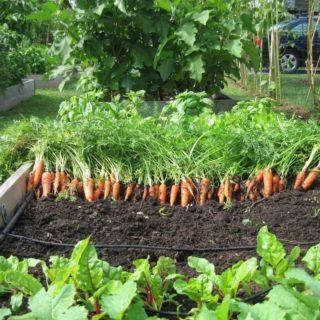 tanaman sayuran di halaman rumah