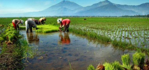 Menanam padi, Pertanian Organik di Indonesia