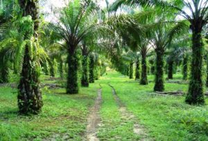 perkebunan, tanaman perkebunan, perkebunan kelapa sawit