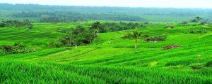 sawah indonesia