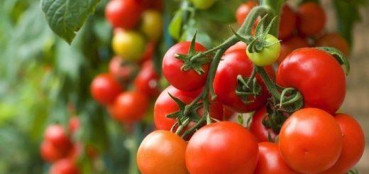 tanaman tomat, ciri-ciri tanaman tomat