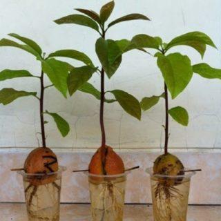 tanaman buah hidroponik, tanaman buah pir, tanaman buah alpukat, tanaman buah dalam pot kecil