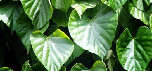 tanaman herbal, tanaman herbal bratawali, tanaman obat keluarga