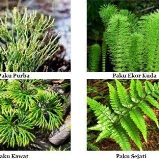 tumbuhan paku heterospora. tumbuhan paku homospora, tumbuhan paku pteridophyta, tumbuhan paku purba, tanaman paku ekor kuda