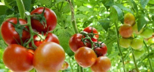 Gambar Tanaman Tomat, Tanaman Tomat, tanaman tomat dalam pot, tanaman tomat hidroponik, umur tanaman tomat, jarak tanaman tomat