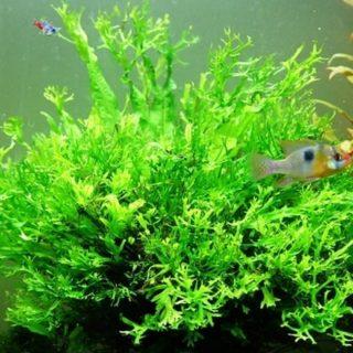 Gambar tanaman Windelov, tanaman aquascape