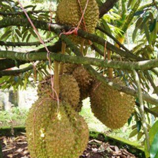 Tanaman Buah Durian Dalam Pot, tanaman buah dalam pot, tanaman buah yg cepat panen, tanaman buah buahan, tanaman buah yang menguntungkan
