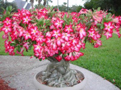 Tanaman Hias Adenium, Tanaman Hias Adenium, tanaman hias bunga, tanaman hias indoor