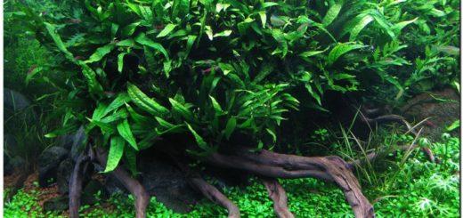 tanaman hias aquascape, tanaman aquascape termahal, tanaman aquascape menguning, tanaman air aquascape tanpa co2