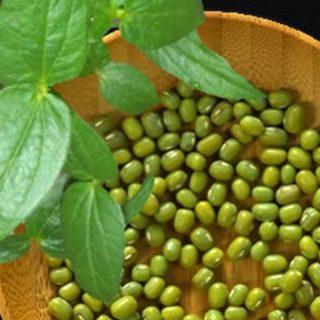 tanaman palawija adalah, tanaman palawija termahal, tanaman palawija apa saja, tanaman palawija cocok ditanam di daerah, Tanaman Kacang Hijau