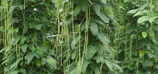 tanaman palawija yang menguntungkan, tanaman palawija yang cocok di musim hujan, contoh tanaman palawija adalah, budidaya tanaman palawija, tanaman palawija ditanam pada musim
