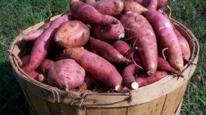 tanaman pangan, 3 jenis tanaman pangan, tanaman pangan umbi-umbian