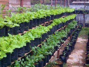 Tanaman sayuran di rumah