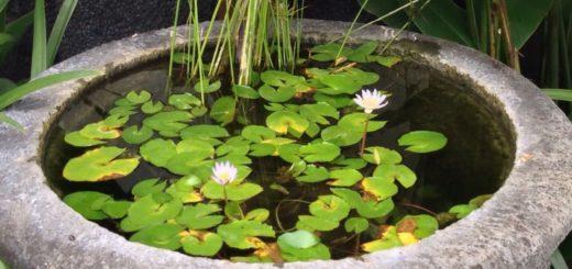 gambar tanaman air dalam pot