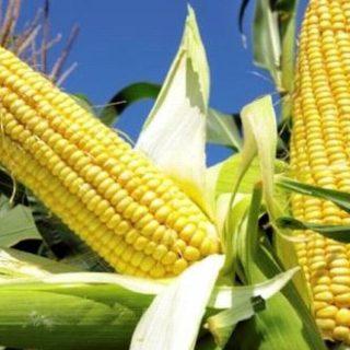 gambar tanaman jagung, tanaman pangan serealia