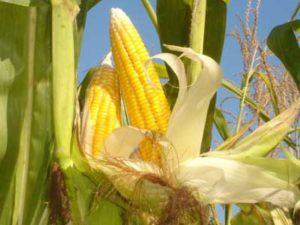 gambar tanaman jagung yang sehat