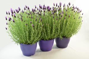 tanaman hias pengusir nyamuk dalam rumah, tanaman pengusir nyamuk paling ampuh, jenis tanaman pengusir nyamuk