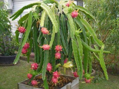 tanaman buah dalam pot, tanaman buah naga di dalam pot, tanaman buah dalam pot yang cepat berbuah, tanaman buah naga dalam pot, budidaya tanaman buah dalam pot, jual tanaman buah dalam pot, harga tanaman buah dalam pot