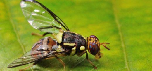 Gambar Lalat Buah, hama tanaman cabe, tanaman cabe