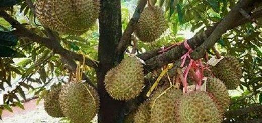 Tanaman Durian Sedang Berbuah