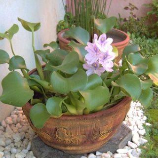 Tanaman Enceng Gondok Dalam Pot