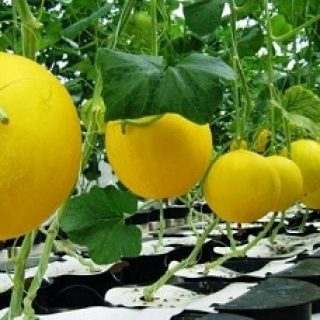Tanaman Melon Hidroponik, tanaman buah hidroponik