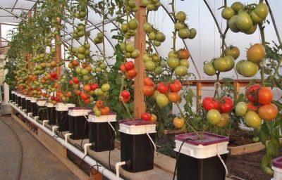 Tomat Hidroponik perlu di beri penyangga