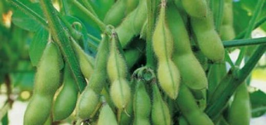 gambar tanaman kedelai