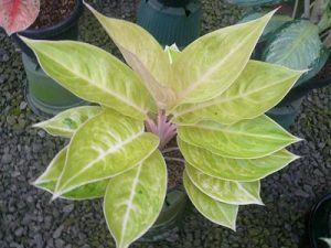 Aglaonema Claudia