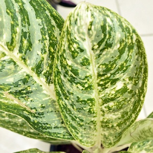 Aglaonema First Love