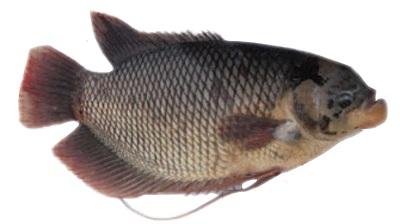 Budidaya Ikan Gurami/Gurame Kolam Terpal