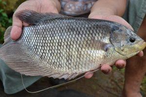 Gambar Ikan Gurami Yang sehat