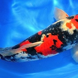 Ikan Koi Gosanke