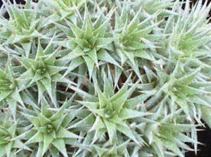 gambar Abrometiella chlorantha, tanaman hias daun outdoor