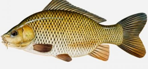 gambar ikan mas
