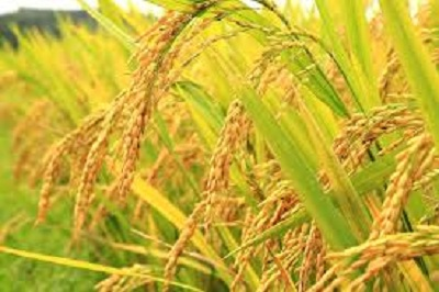 gambar tanaman padi