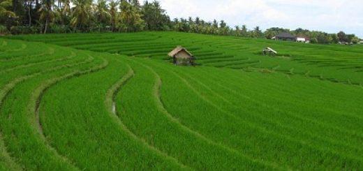 gambar padi di sawah