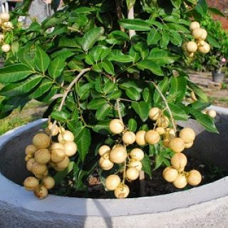 tanaman kelengkeng dalam pot