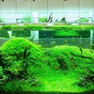 Tanaman Aquascape di akuarium