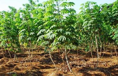gambar tanaman singkong