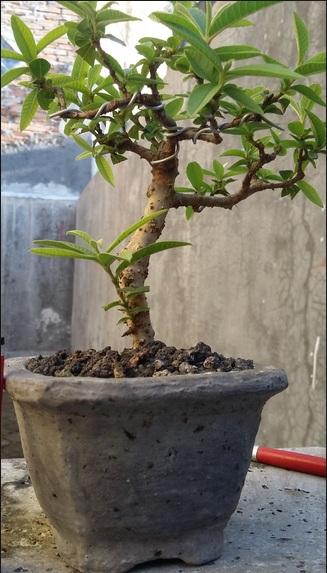 Bonsai Jambu Biji