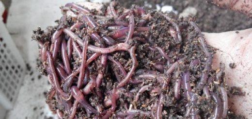 Cacing sebagai makanan hewani ikan