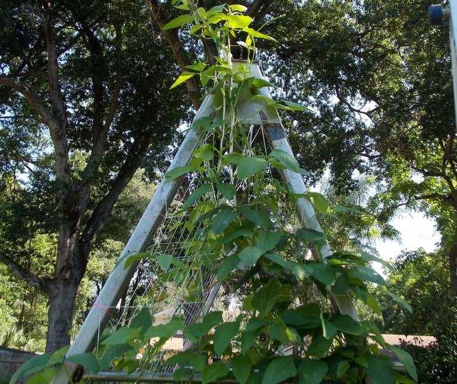 Kacang Panjang Hidroponik