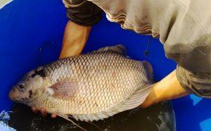 Ikan Gurami Angsa