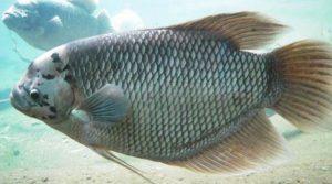 Ikan Gurami Bastar