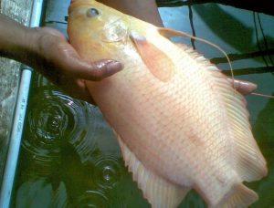 Ikan Gurami Paris