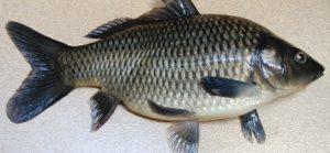 Ikan Mas Lokal