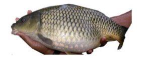 Ikan Mas Majalaya