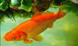 Ikan Mas Sinyonya