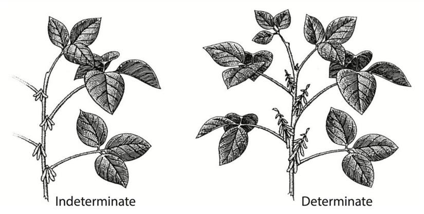 Ilustrasi Perbedaan Kedelai Determinate dan Indeterminate